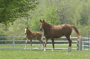Msu Mare And Foal Resize
