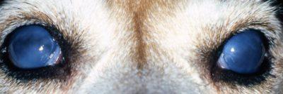 Beagle With Bilateral Glaucoma2