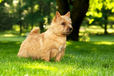 wicket-norwich-terrier-edit