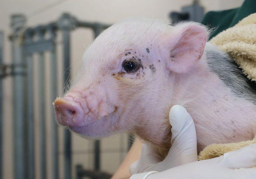 Pigs | College of Veterinary Medicine at MSU