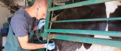 Jared Lyzenga Checking Cow