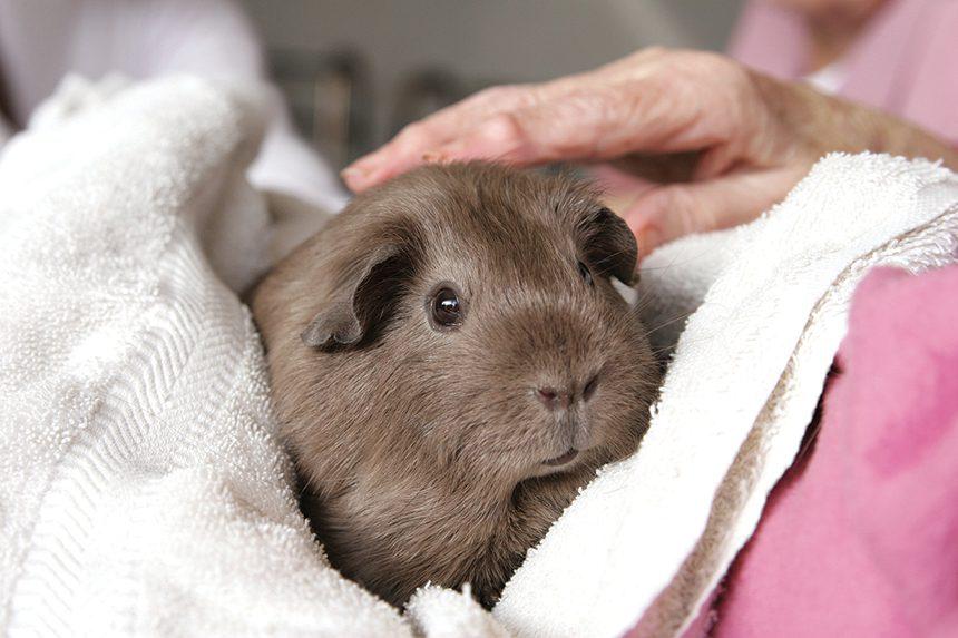 06 Guinea Pig Elder