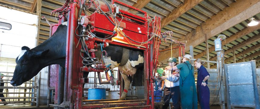 Cow In Machine