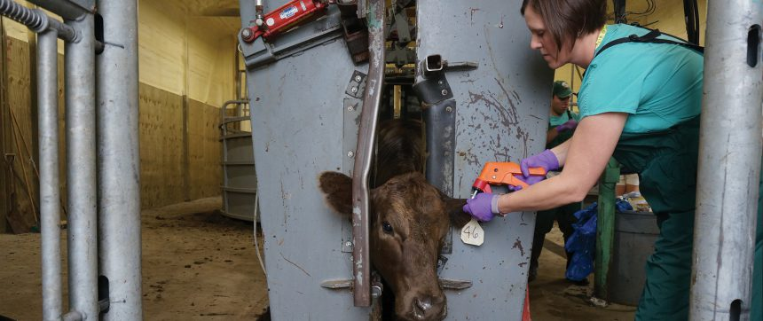 Roberts Tags Cow