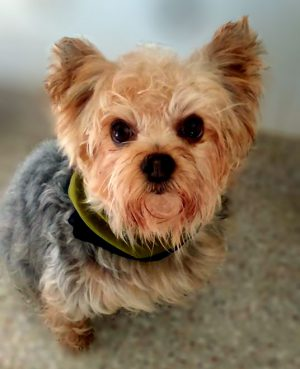 Breathing New Life Into A Teacup Yorkie College Of Veterinary