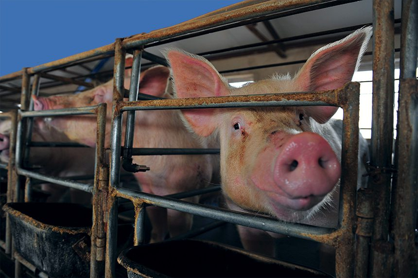 Seneca Pigs2