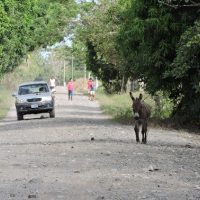 Donkey In The Road