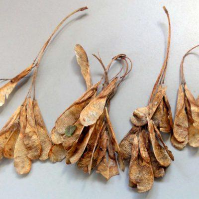 box elder seed pic02