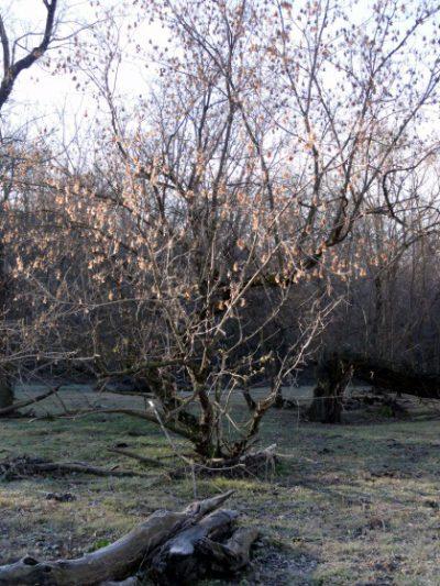 box elder tree pic01