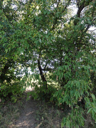 box elder tree pic02