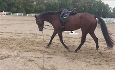 Exercise A Proper Warm Up That Engages Topline And Core Muscles Is Very Important For Horses With Mfm Horses Should Be Worked In A Long And Low Frame For