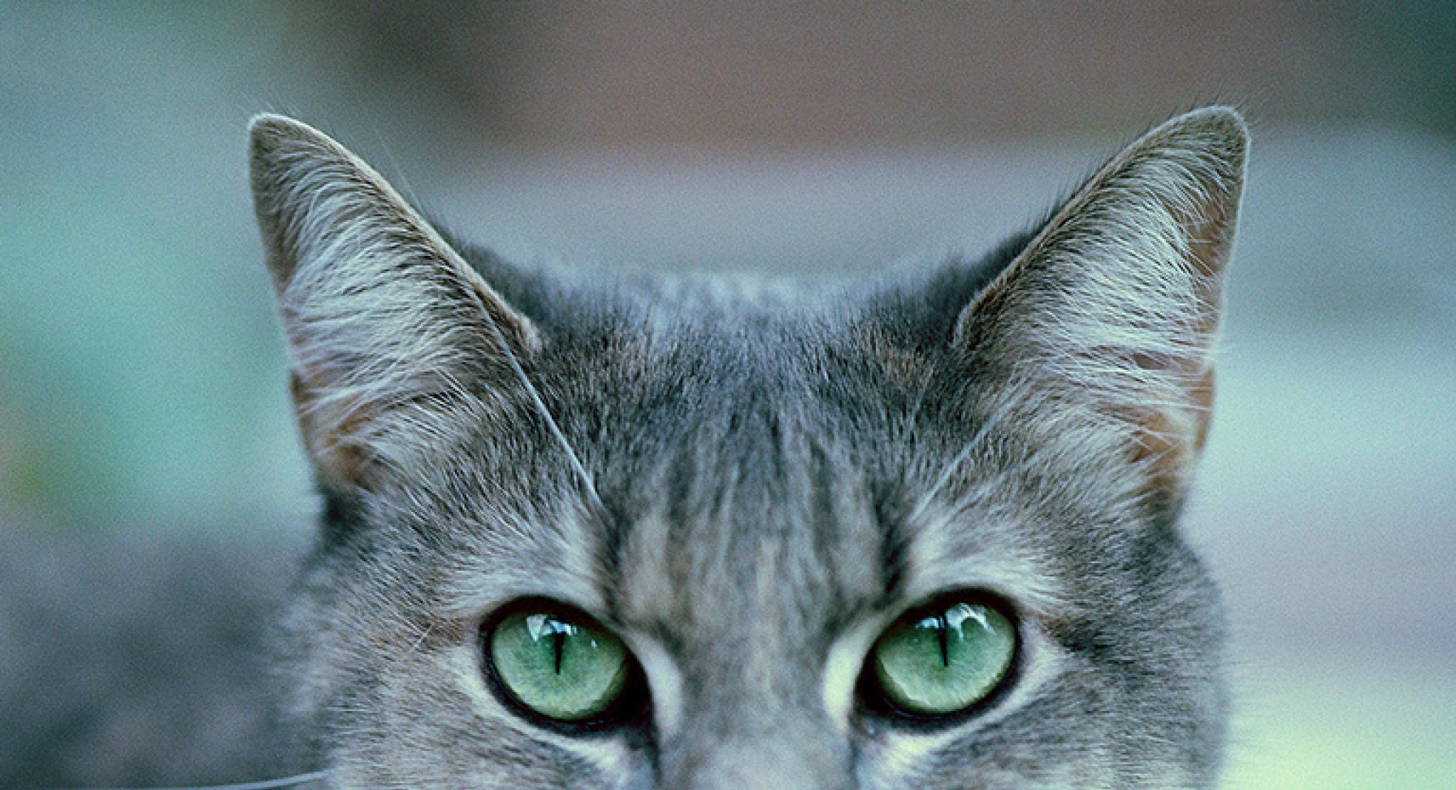 Tabby Cat Lr