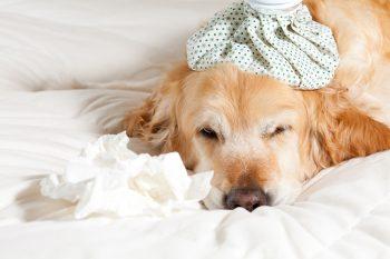 Sick Dog Shutterstock Lr