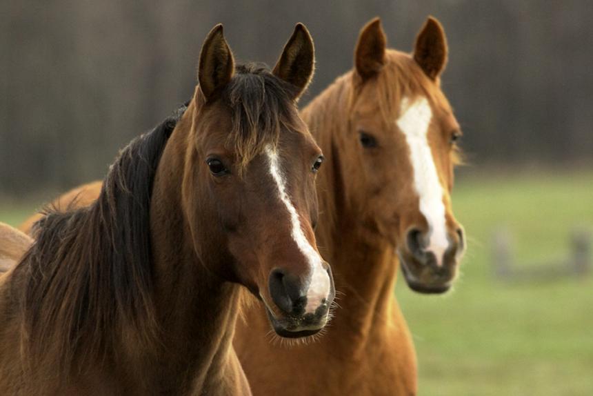 Arabians Horses Msu Lr
