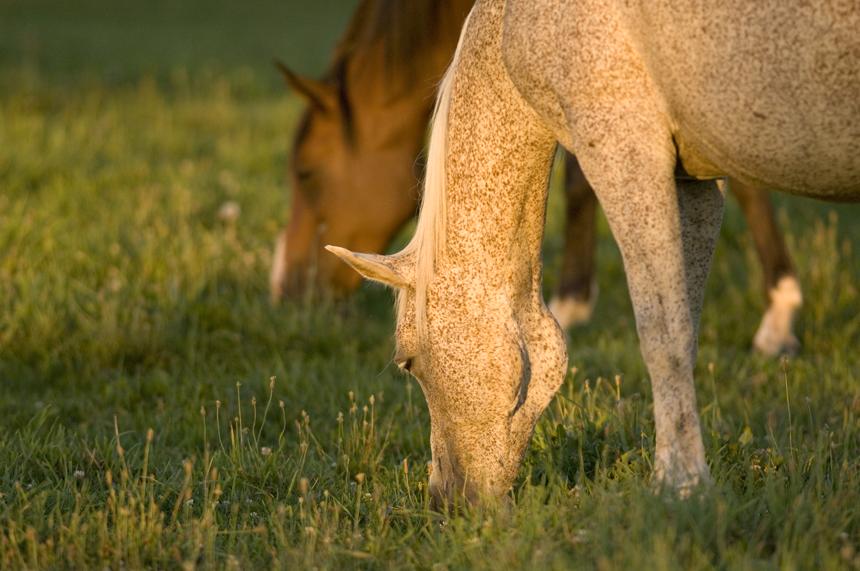 Grazing Horses Lr University Communications