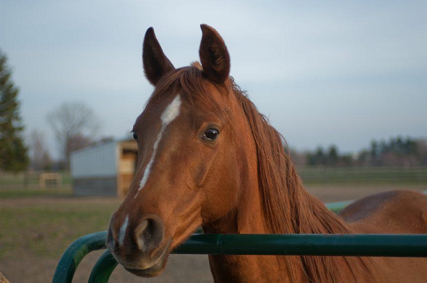 Horse At Gate Lr